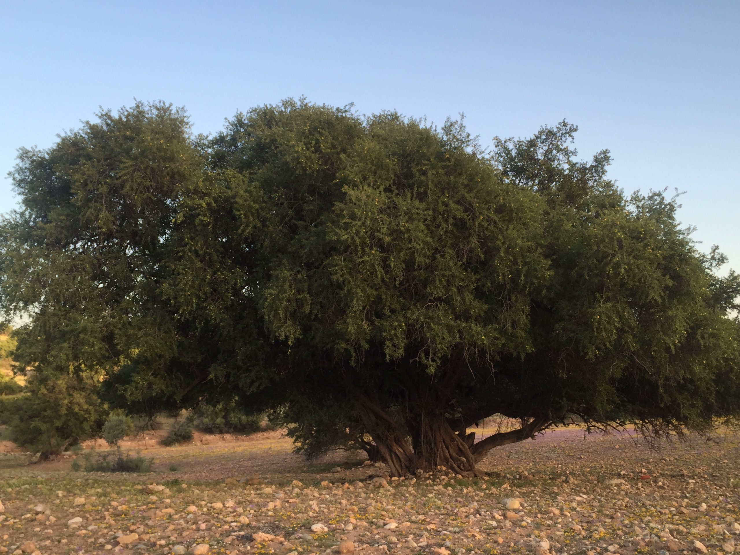 May 10 – The official day of the Argan tree